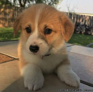 Outstanding Pembroke Welsh Corgi Puppies