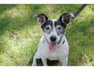 Adopt Benedict a Jack Russell Terrier