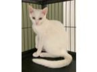 Adopt Polly the Beautiful White Kitten a Domestic Short Hair