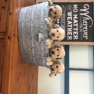 Goldendoodle PUPPY FOR SALE ADN-69406 - Gorgeous Mini Goldendoodles