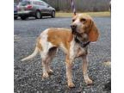 Adopt Maggie a Red/Golden/Orange/Chestnut - with White Beagle / Mixed dog in