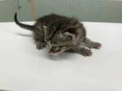 Adopt 42219263 a Gray or Blue Domestic Shorthair / Domestic Shorthair / Mixed