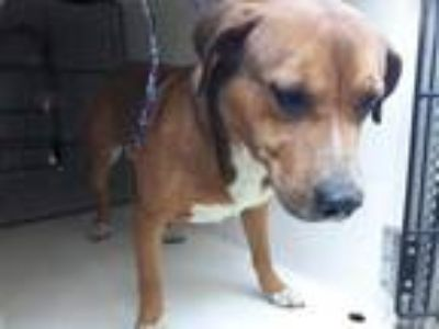 Adopt NATHAN a Brown/Chocolate Australian Cattle Dog / Beagle / Mixed dog in