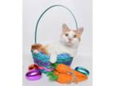 Adopt Louie a Orange or Red Domestic Shorthair cat in Jefferson City
