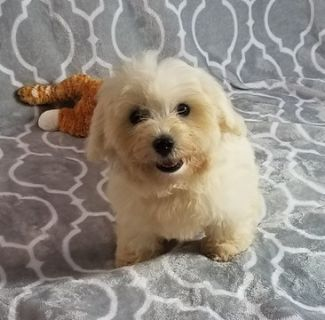 Maltipoo PUPPY FOR SALE ADN-91849 - Maltipoo Puppies Michigan