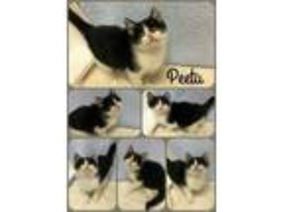 Adopt Peetu a Domestic Short Hair