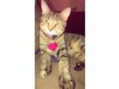 Adopt Luna a Tiger Striped Domestic Mediumhair / Mixed cat in Brooklyn