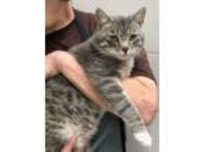 Adopt Sal a Domestic Short Hair, Tabby