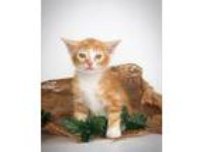 Adopt Tanner a Domestic Short Hair