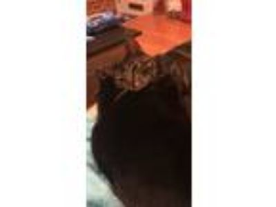 Adopt Zelena & Hendrix a Brown Tabby American Shorthair / Mixed cat in Edgemere