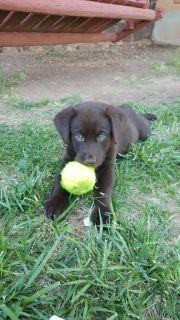 AKC Chocolate Labradors