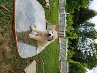 Great Pyrenees DOG FOR ADOPTION ADN-79860 - Puppies For Adoption