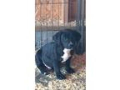 Adopt LAB MIX PUPPIES a Black - with White Labrador Retriever / Basset Hound /