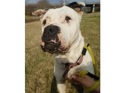 KATRINA'S A BEAUTIFUL AMERICAN BULLDOG. SHE'S A ...