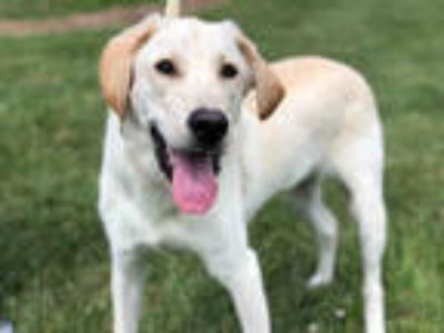 Adopt JIMBO a White Labrador Retriever / Mixed dog in Urbana, IL (25878324)