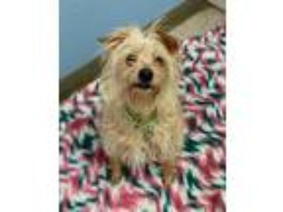 Adopt Odis a Norfolk Terrier, Mixed Breed