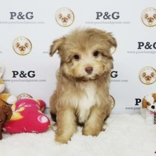 Pomeranian-Poodle (Toy) Mix PUPPY FOR SALE ADN-96645 - POMAPOO EMILY FEMALE