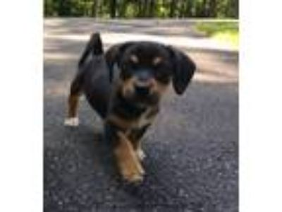 Adopt Puppy Andy a Tricolor (Tan/Brown & Black & White) Beagle / Dachshund /