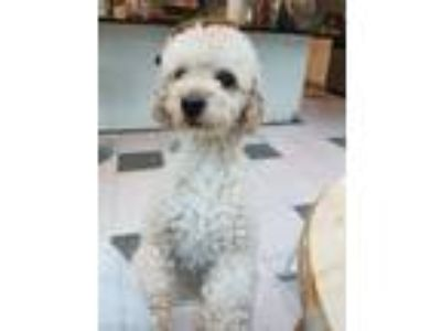 Adopt Butter a Miniature Poodle