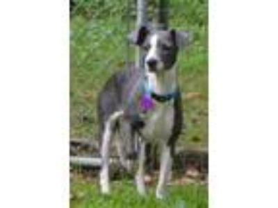 Adopt Lindy a Gray/Silver/Salt & Pepper - with White Whippet / Mixed dog in
