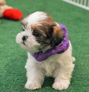 shih tzu for new homes FOR SALE