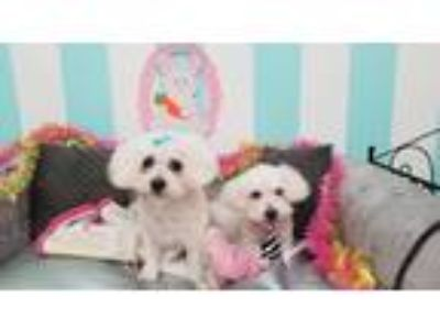 Adopt Juliet & Romeo a White Poodle (Miniature) / Mixed dog in Albany