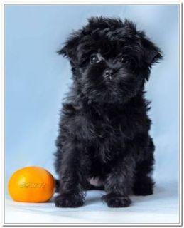 Affenpinscher PUPPY FOR SALE ADN-66765 - Affenpinscher puppies