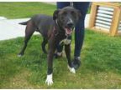 Adopt RUCKER a Black - with White Border Collie / Labrador Retriever / Mixed dog