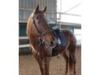 Adopt Jenny a Thoroughbred, Paint / Pinto