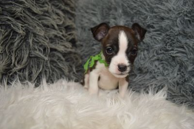 Jack Russell Terrier-Boston Terrier Mix PUPPY FOR SALE ADN-78899 - Cute Male Boston Terrier Jack Russell Mix