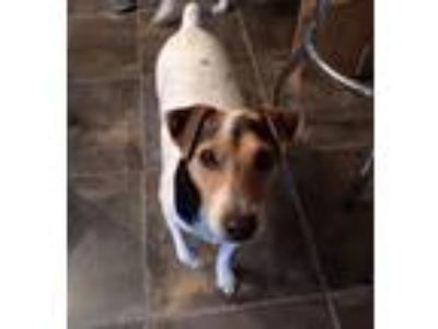Adopt RED (RED BLUFF, CA) a Parson Russell Terrier