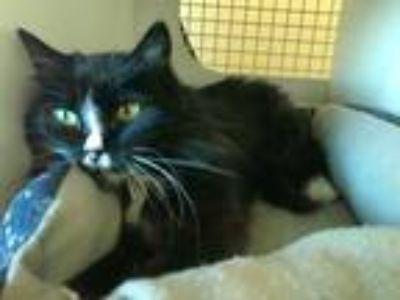 Adopt Mia a Black & White or Tuxedo Domestic Mediumhair (medium coat) cat in San