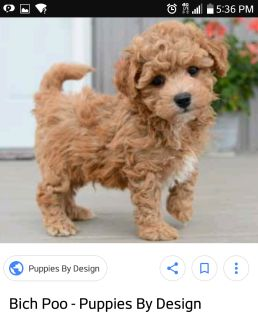 looking for bichon poo puppies
