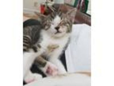 Adopt PUDDLES (Alice) a Domestic Short Hair