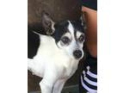 Adopt Precious of Kentucky a Rat Terrier