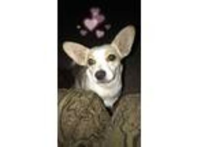 Adopt Snowball a White Corgi / Jack Russell Terrier / Mixed dog in Buckeye