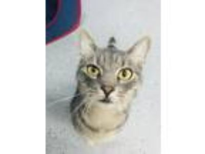 Adopt Neko a Domestic Short Hair