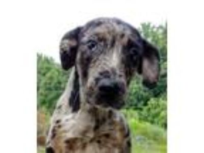 Adopt Sabra a Catahoula Leopard Dog, Mixed Breed