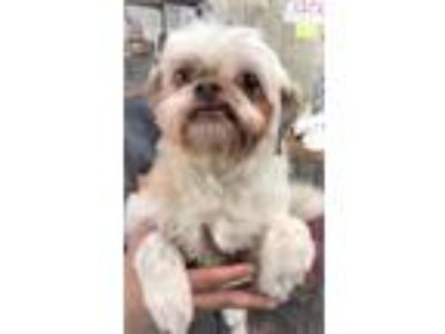 Adopt Honey Lonestar a Tan/Yellow/Fawn - with White Lhasa Apso / Shih Tzu /
