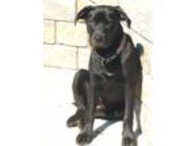 Adopt Lona a Black Labrador Retriever / Mastiff dog in Buffalo, NY (25316617)