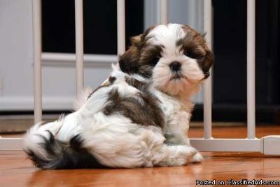 Male and Female Registered Shih Tzu Puppy to a love home