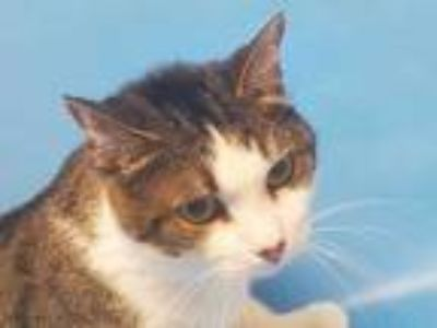 Adopt Belle a Brown or Chocolate Domestic Mediumhair / Mixed cat in Golden