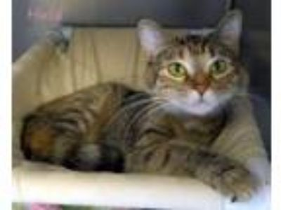 Adopt Hula a Domestic Short Hair