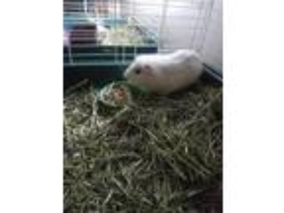 Adopt Sky a White Guinea Pig small animal in Lancaster, CA (24574415)