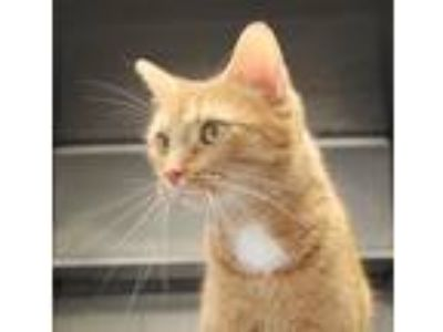 Adopt Shaine a Domestic Shorthair / Mixed (short coat) cat in Crystal Lake