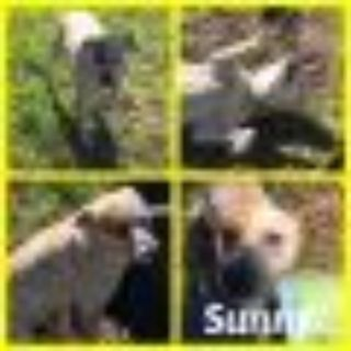 Sunny Australian Cattle Dog / Blue Heeler Dog