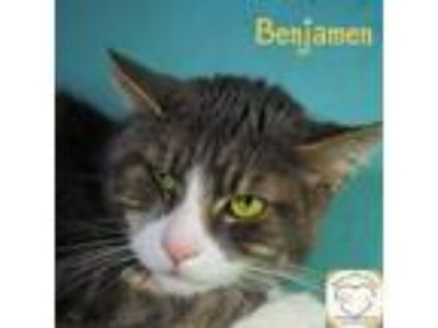Adopt Benjamen a Domestic Shorthair / Mixed (short coat) cat in Washburn