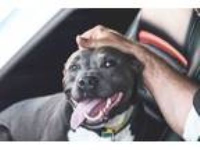 Adopt Brooklyn Biscuit a Pit Bull Terrier, American Staffordshire Terrier