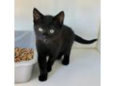 Adopt Mochi a All Black Domestic Shorthair / Mixed cat in Oakland, CA (25541936)