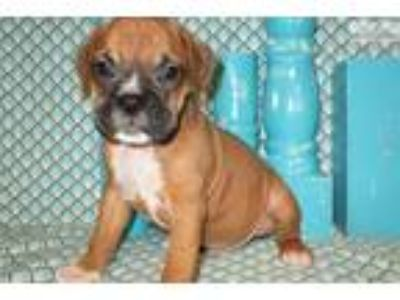AKC registered male Boxer puppy (Major)